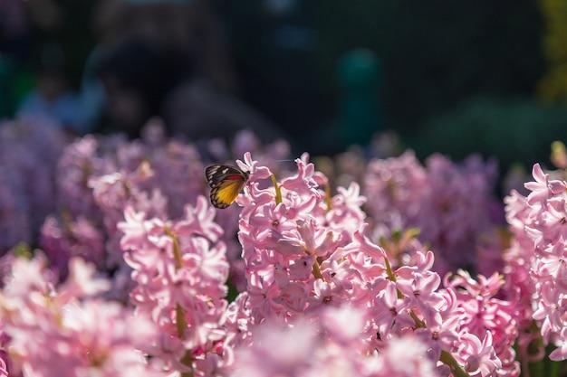 Fleur de jacinthe et papillon dans le jardin au soleil le matin.