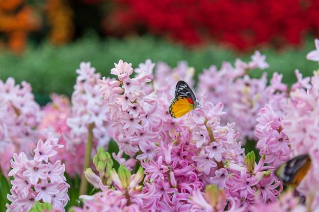 Fleur de jacinthe et papillon dans le jardin