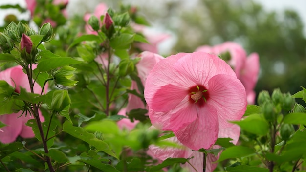 Fleur de jardin rose