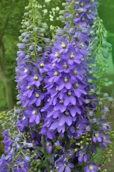 Fleur de jasmin delphinium. fleur violette de delphinium dans un jardin d'été