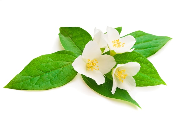 Fleur de jasmin avec des feuilles