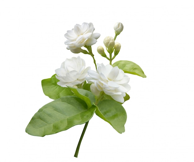 Fleur de jasmin isolée