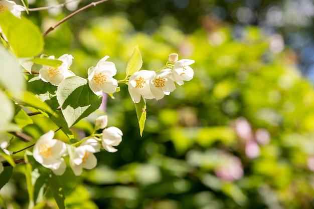 Fleur de jasmin poussant sur le buisson