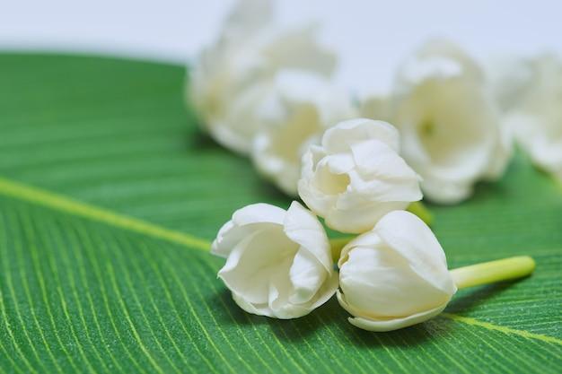Fleur de jasmin, les thaïlandais présentent des fleurs de jasmin à leur mère à l'occasion de la fête des mères thaïlandaise.