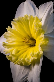 Fleur jaune et blanche en gros plan