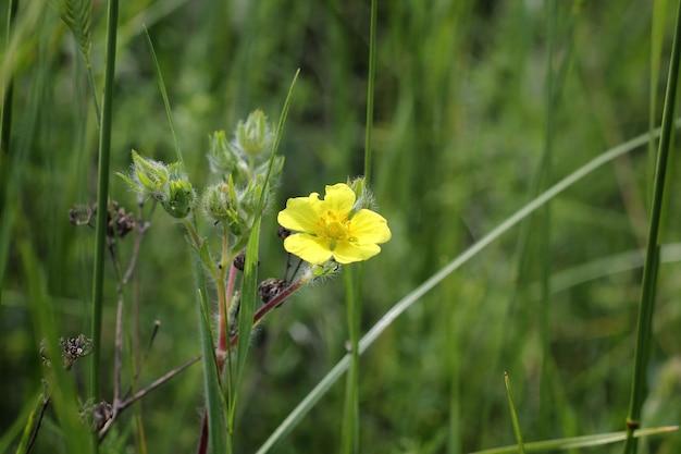 Fleur jaune d'oseille des bois en fleurs