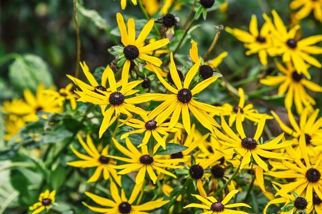Fleur jaune de rudbeckia fulgida ou échinacée jaune