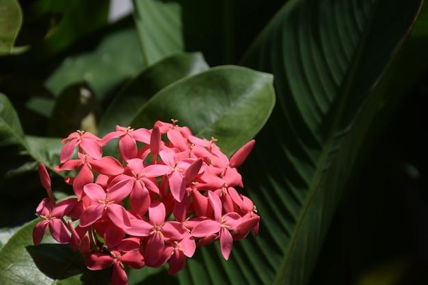 Fleur de jour d'ixora rose et feuilles vertes floues