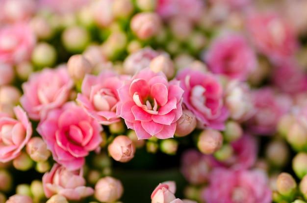 Fleur de katy flamboyante