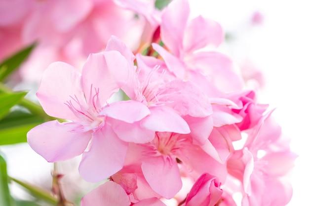 Fleur de laurier rose clair en gros plan qui fleurit (nerium oleander l.).