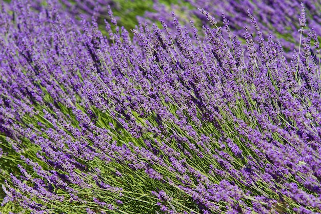 Fleur de lavande close-up dans un champ en provence france