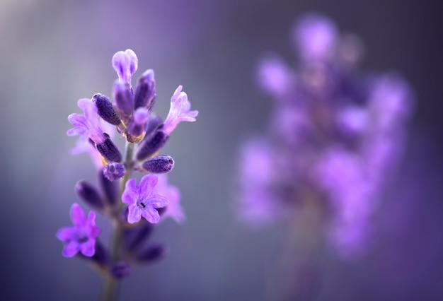 Fleur de lavande, gros plan, fond naturel. avec un espace pour le texte, la plante est destinée à être utilisée en médecine et en parfumerie.