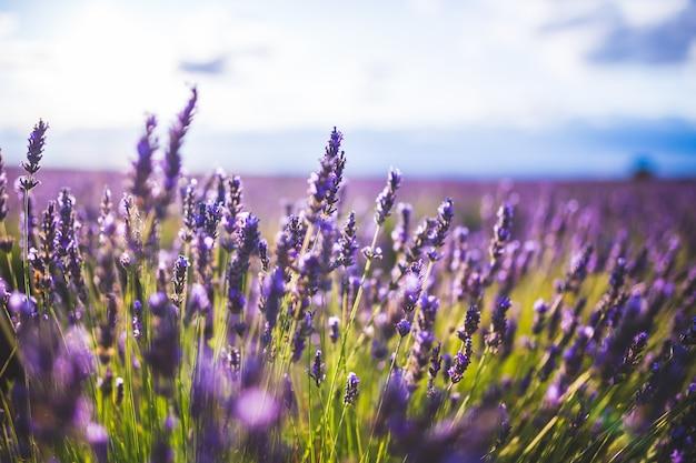 Fleur de lavande sur le paysage de mise au point sélective à brihuega, en espagne.