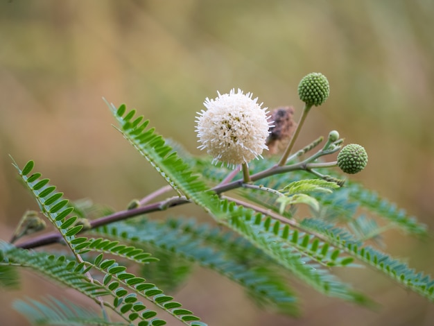 Fleur leucaena leucocephala