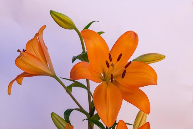 Fleur de lis orange en fleurs