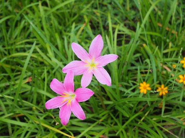 La fleur de lis de pluie pourpre en thaïlande