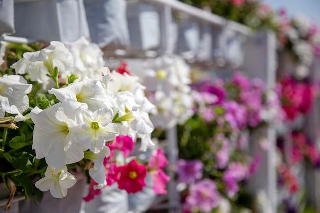 Fleur de lituanie dans le jardin pour la décoration