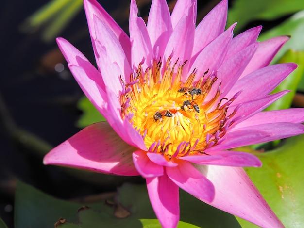 Fleur de lotus et abeilles dans la lumière du matin