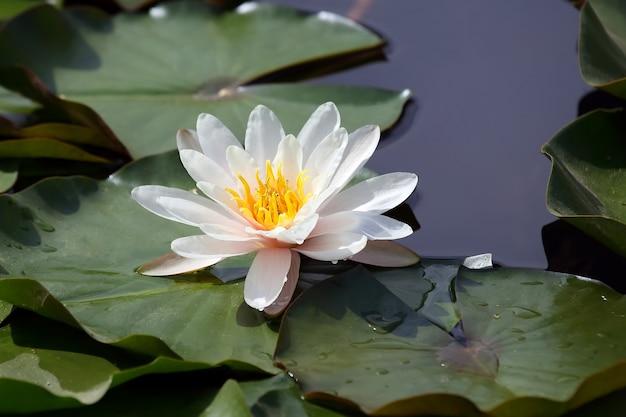 Fleur de lotus blanc sur l'eau