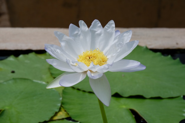 Fleur de lotus blanc fleurissant avec feuille verte