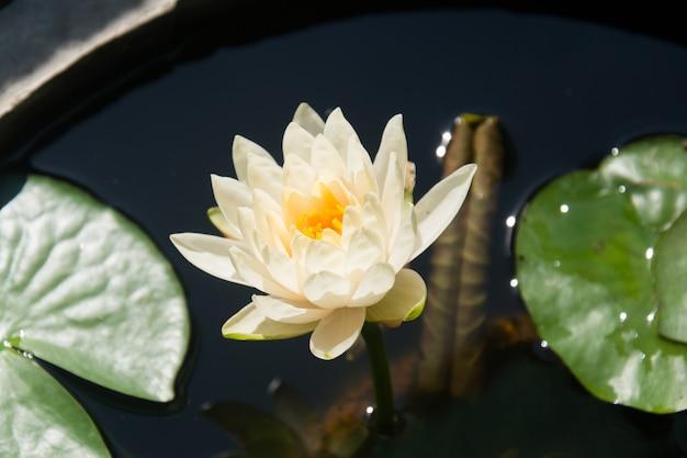 Fleur de lotus blanche sur fond de feuille verte