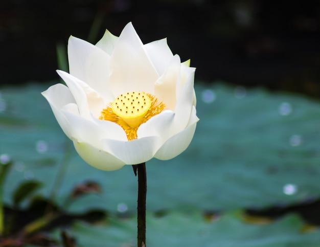 Fleur de lotus blanche