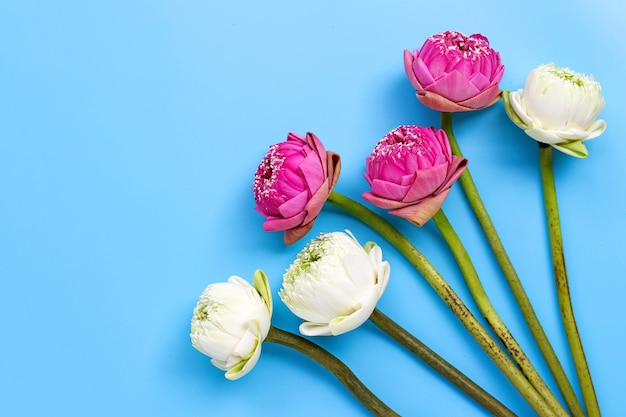 Fleur de lotus sur bleu. vue de dessus