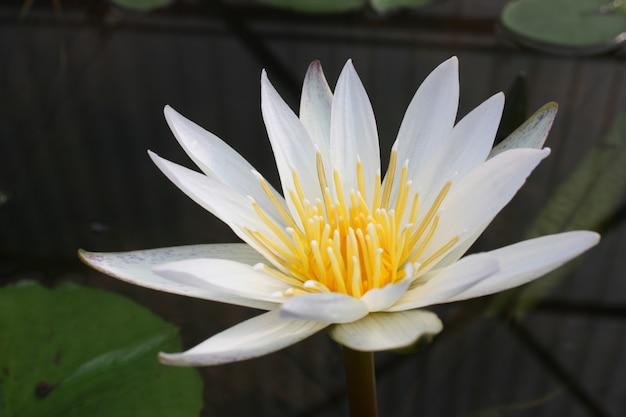 Fleur de lotus dans un étang, couleur de ton vintage