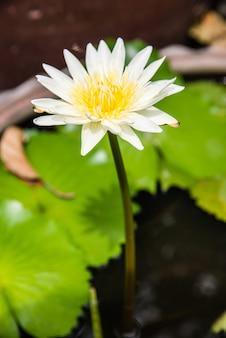Fleur de lotus dans l'étang. les couleurs saturées et les détails vibrants en font une image presque surréaliste.