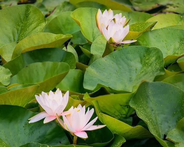 Fleur de lotus d'eau rose dans les rayons du soleil au coucher du soleil