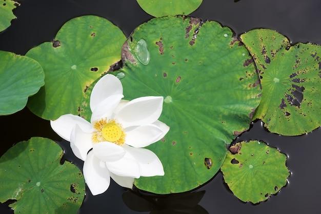 Fleur de lotus sur l'eau