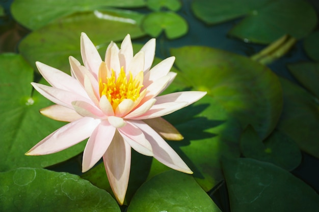 Fleur de lotus en étang