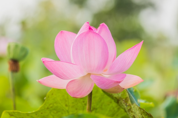 Fleur de lotus en fleurs sur vert.