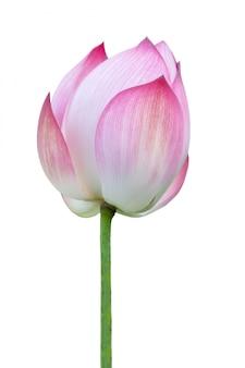 Fleur de lotus isolée.