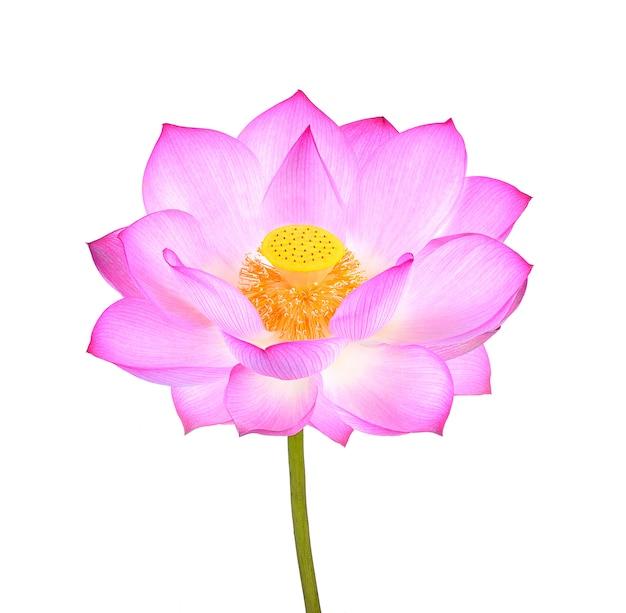 Fleur de lotus isolée