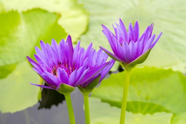 Fleur de lotus pourpre sur l'eau beau fond