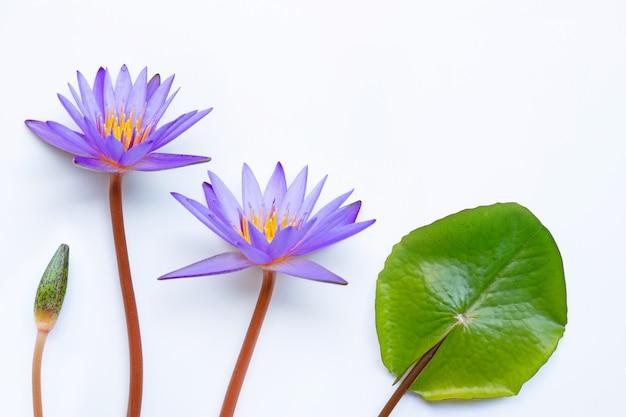 Fleur de lotus pourpre qui fleurit sur blanc.