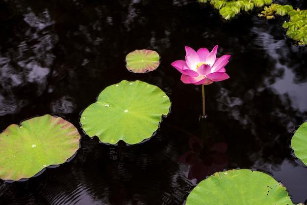 Fleur de lotus rose et blanc et feuille verte dans l'eau nature piscine, eau florale dans le parc