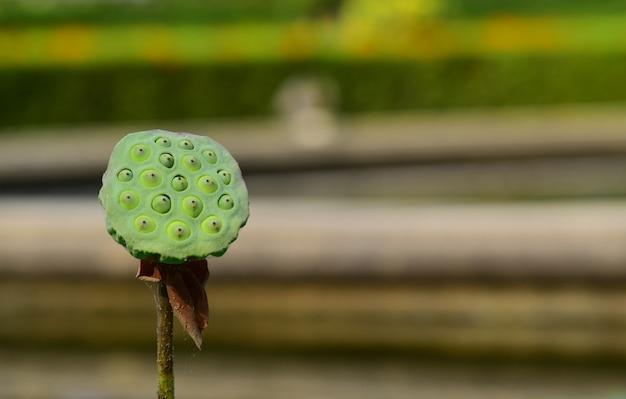 Fleur de lotus rose dans la piscine, a commencé à fleurir dans une belle nature