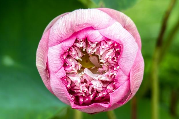 Fleur de lotus rose sur l'eau beau fond