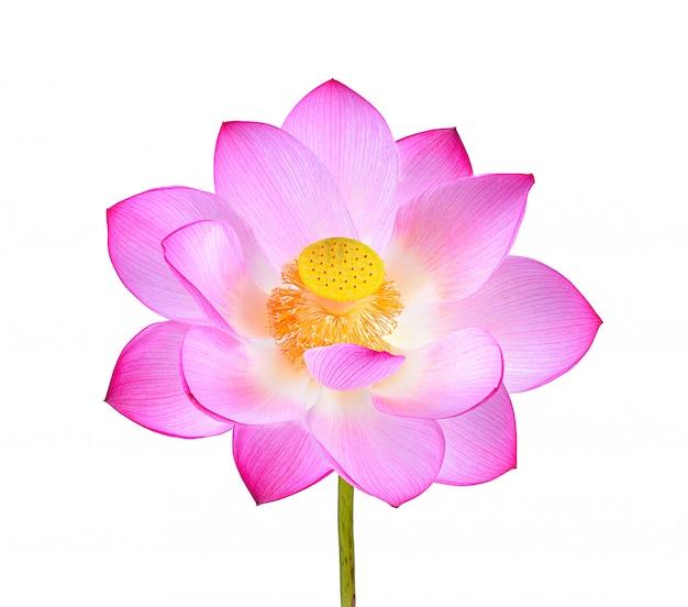 Fleur de lotus rose isolé