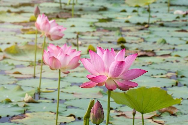 Fleur de lotus rose qui fleurit parmi les feuilles luxuriantes dans l'étang sous le soleil d'été lumineux