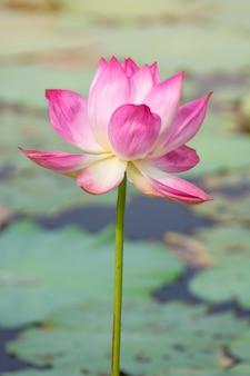 Fleur de lotus rose qui fleurit parmi les feuilles luxuriantes dans un étang sous le soleil de l'été