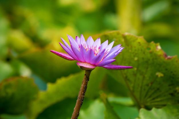 Fleur de lotus violet ou violet dans l'étang. fleur de lys violet dans un étang artificiel.