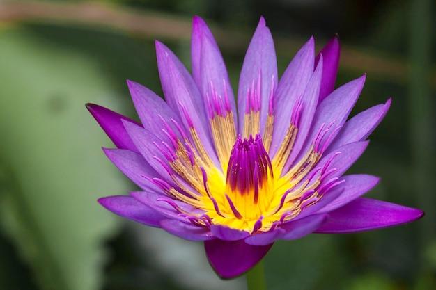 Fleur de lotus violette