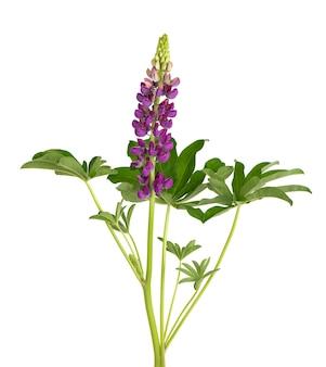 Fleur de lupin violet isolé sur fond blanc. lupinus ou haricot loup. belles fleurs d'été.