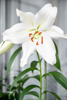 Fleur de lys blanc fleurit dans le jardin d'été