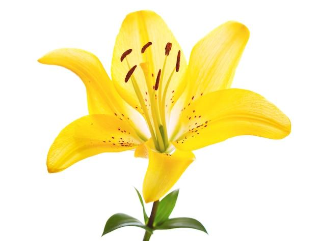 Fleur de lys jaune isolé sur blanc