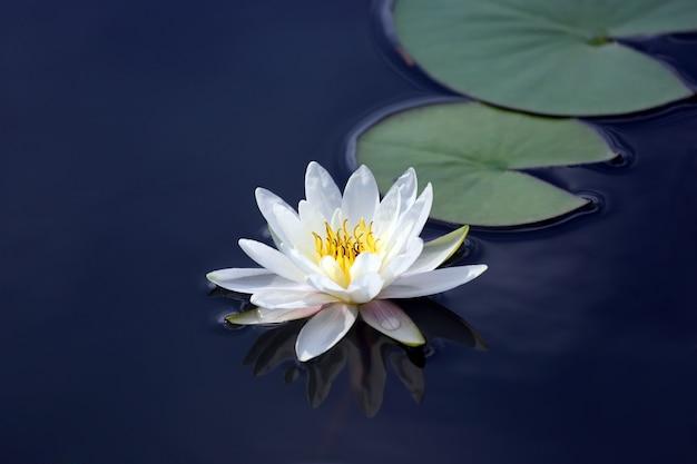 Fleur de lys de lotus blanc sur l'eau