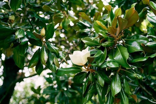 Fleur de magnolia blanc sur buisson vert